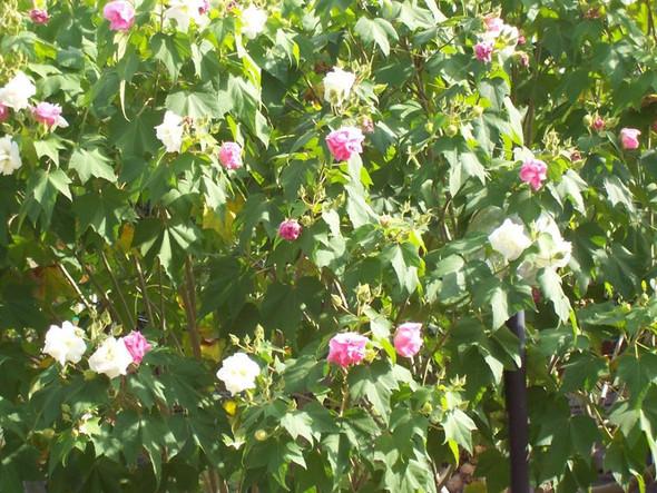 Blühender Baum Sizilien - (Natur, Baum, Botanik)