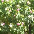 Blühender Baum Sizilien