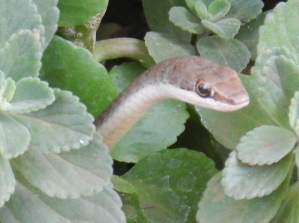 Schlange - (Biologie, Schlangen)