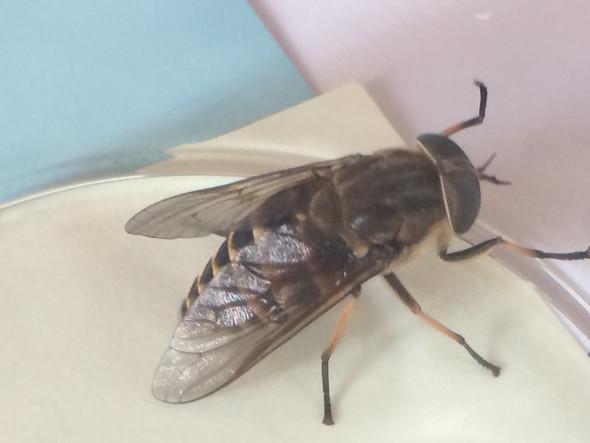 - (Insekten, bestimmen, Star Stable Online)