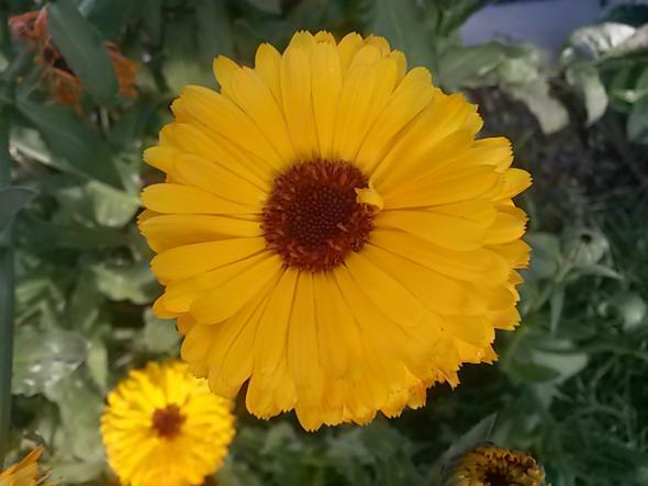Blume 1 - (Garten, Pflanzen, Blumen)