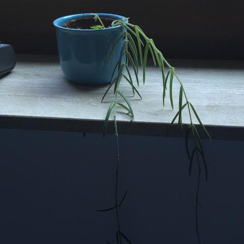 Ein dritter Strang wächst gerade.  - (Pflege, Pflanzen, Natur)