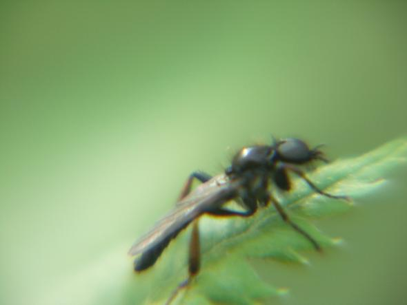 kann mir jemand sagen wie dieses schwarze fliegende insekt hei t name insekten schwarz. Black Bedroom Furniture Sets. Home Design Ideas