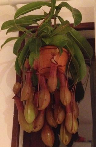 Die Pflanze mit den 'Kannen' - (Pflege, Pflanzen)