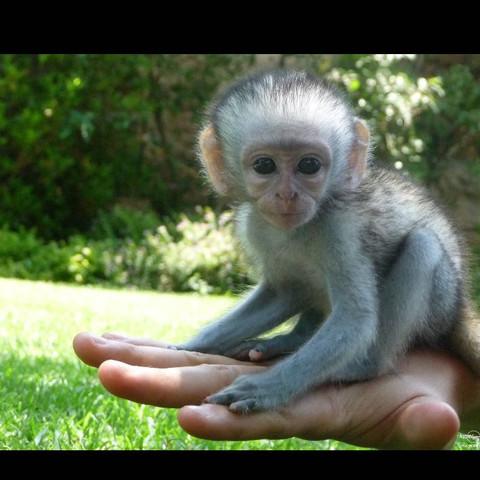 Kapuzineraffchen Zuhause Haustiere Affen