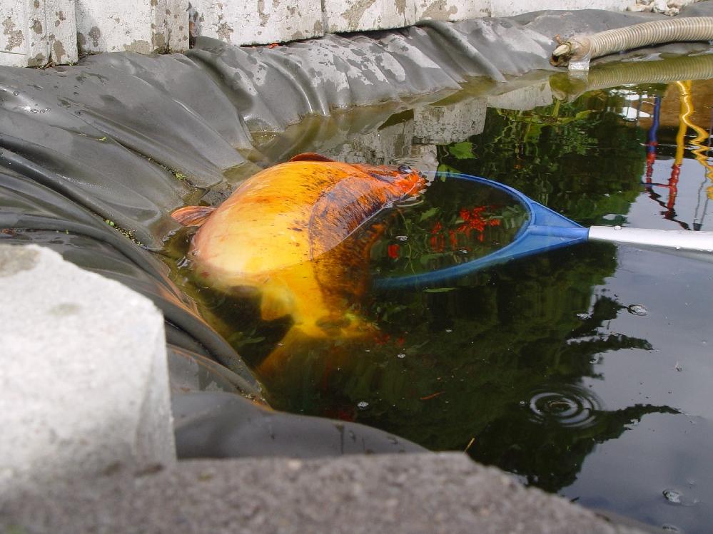 Karpfen krank koi zu dick fische teich for Koi teich winter
