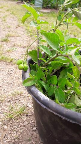 Kartoffelbeeren - (Garten, Kartoffeln, flora)