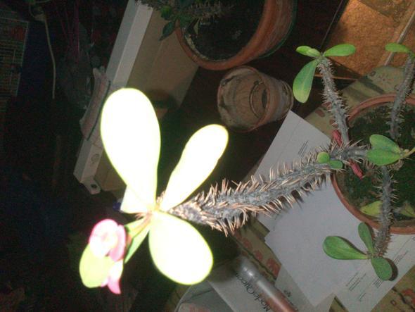 Kaktus - (Garten, Pflanzen, kaktus)