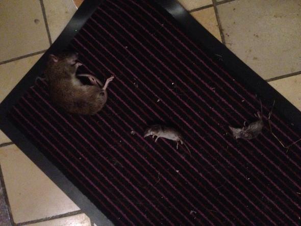 Katze bringt 4 Mäuse in paar Stunden und Ratte