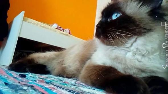 Dörthe-My Colourpoint Ragdoll - (Katze, Erbrechen)