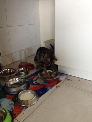 Tosca beim fressen - (Katze, unnormales fressen)