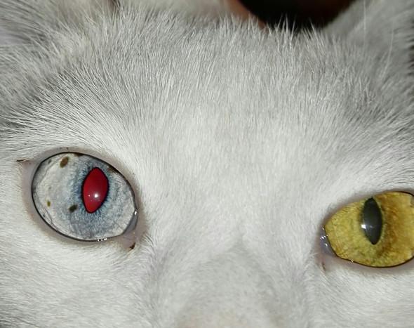 Auge - (Krankheit, Augen, Katze)
