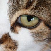 Augenfluss  - (Krankheit, Haustiere, Katzen)