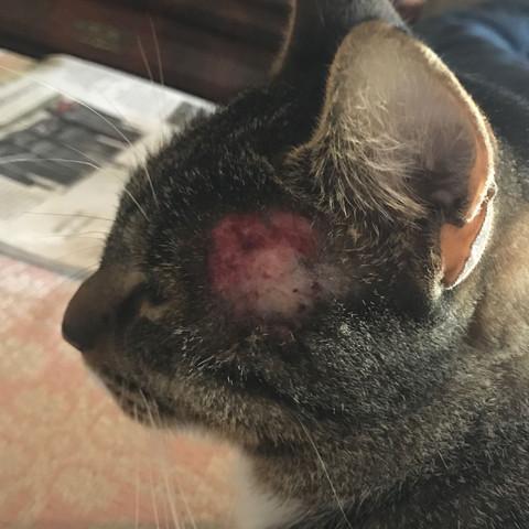 Wunde am Kopf der Katze - (Katze, Kopf, Wunde)