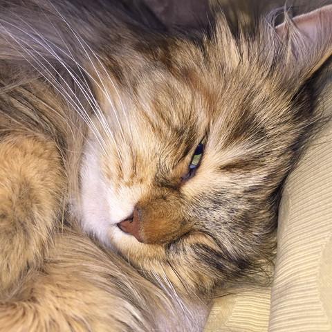 Meine Katze, Sherri.☺️  - (Katze, Tierarzt, rasieren)