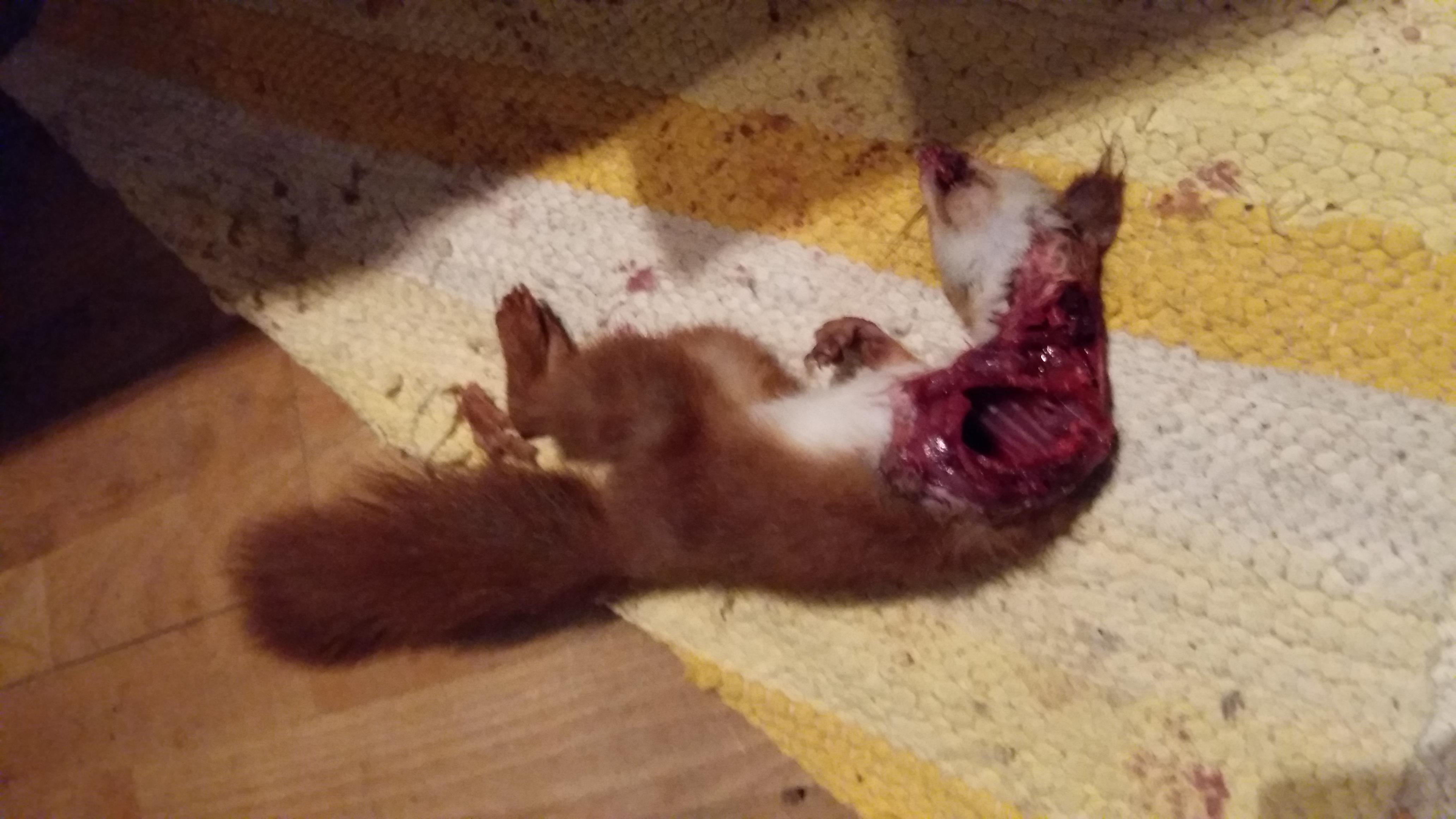 Katze tötet Eichhörnchen? (Haustiere, Tod)