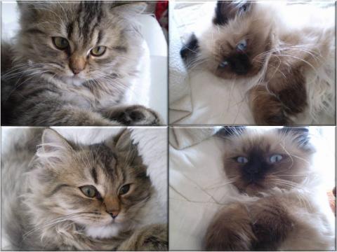 Gismo ist der Birmakater - (Tiere, Katze)