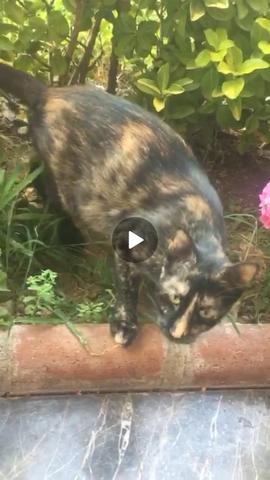 OminoeseKatze03 - (Katze, Rasse, Katzenrasse)