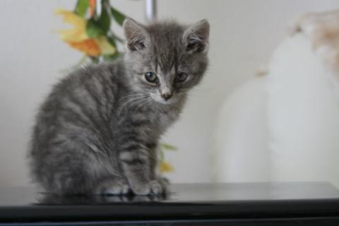 Silver Star Auto >> Katzenrasse Silver Tabby (Katze, Haustiere)