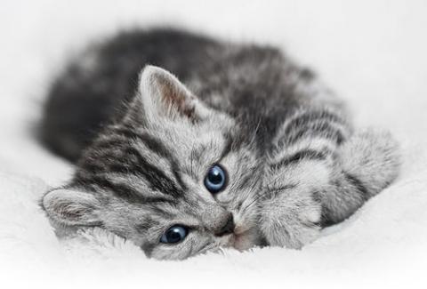 Silver Tabby aus dem Internet - (Katze, Haustiere)