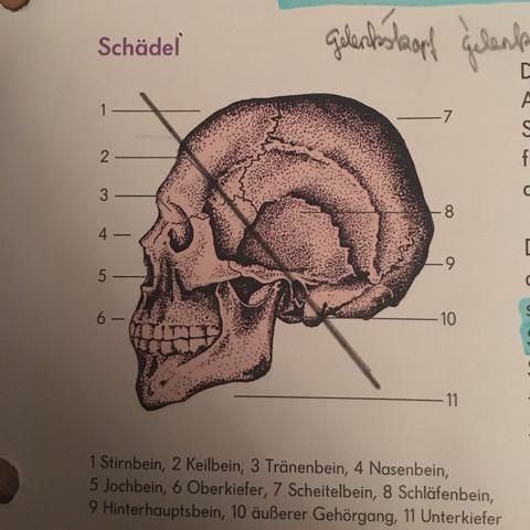 Keilbein und Schläfenbein? (Körper, Knochen, Anatomie)