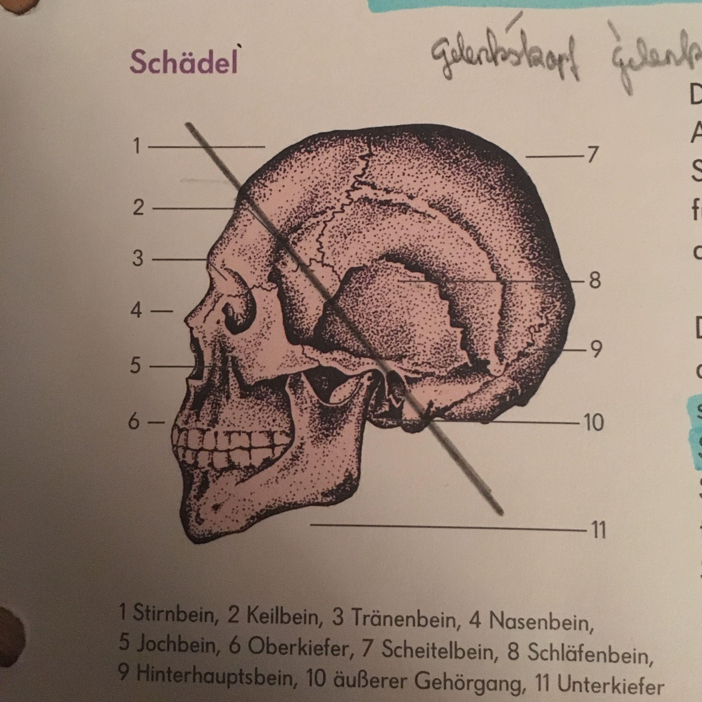 Fantastisch Anatomie Und Physiologie Wiederholungsfragen Bilder ...