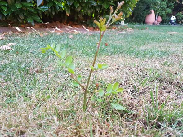 Keimling im Rasen. Welcher Baum ist das?