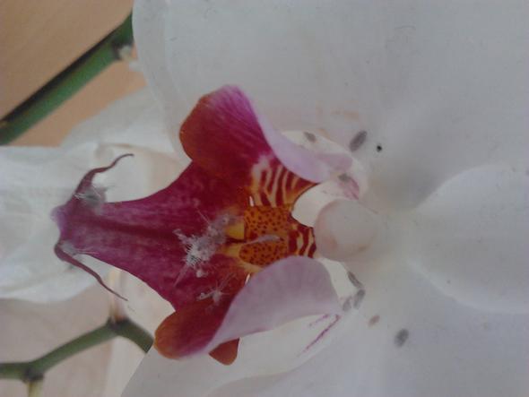 kennt ihr ein hausmittel bei schimmel parasitenbefall einer orchidee pflanzen insekten blumen. Black Bedroom Furniture Sets. Home Design Ideas
