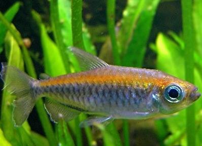 Blauer Kongosalmler :) - (Fische, Aquarium, Neubesatz)