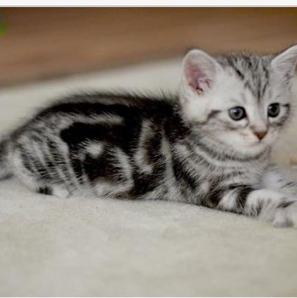 kennt ihr katzen die wenig haar verlieren bzw wenig haare. Black Bedroom Furniture Sets. Home Design Ideas
