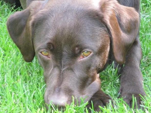 Bella ist ein brauner Labrador - (Hund, Casting, Fotograf)