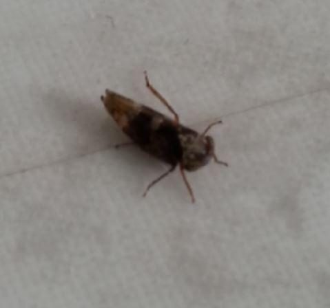 Wie heisst das Insekt? - (Tiere, Insekten)