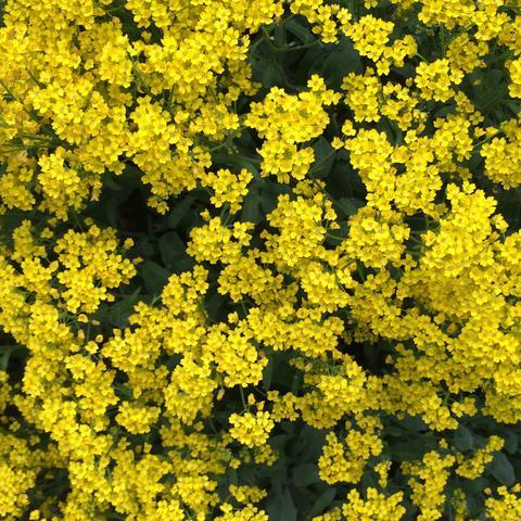 kennt jemand den namen dieser blume gelbe gartenblume. Black Bedroom Furniture Sets. Home Design Ideas