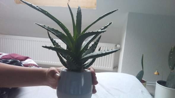 Kennt jemand den Namen dieser Ikea Kakteen/Succulenten?