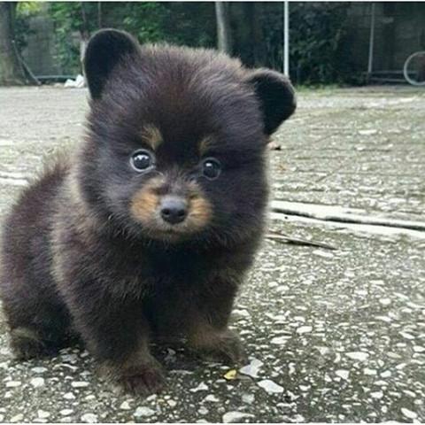 Kennt Jemand Diese Hunderasse Sie Sieht Aus Wie Ein Bär Tiere