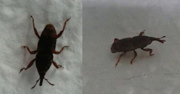 kennt jemand diese k fer insekten kaefer sch dlinge. Black Bedroom Furniture Sets. Home Design Ideas