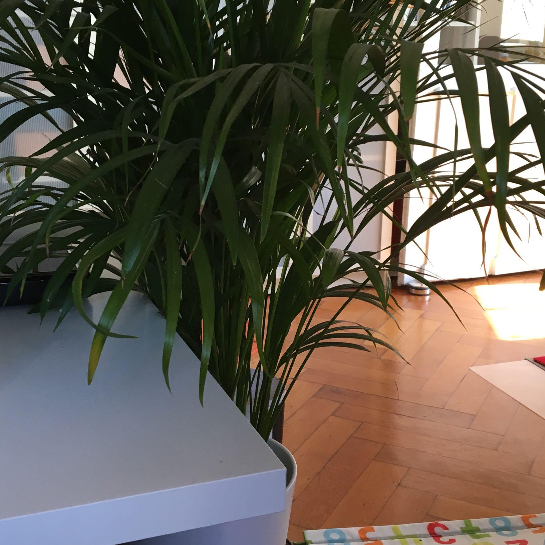 kennt jemand diese palme und wei ob sie giftig f r katzen ist tiere pflanzen. Black Bedroom Furniture Sets. Home Design Ideas
