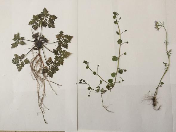 kennt jemand diese pflanzen herbarium klasse 9 biologie bestimmung. Black Bedroom Furniture Sets. Home Design Ideas