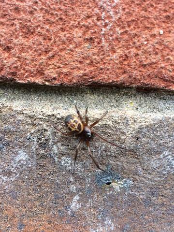 für mich unbekannte Spinne - (Spinnen, unbekannte Spinne)