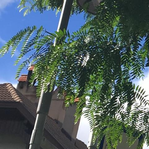 Kennt jemand diesen Baum? Gesichtet am Straßenrand in Italien ca 800müNN. Baumhöhe an die 15m?