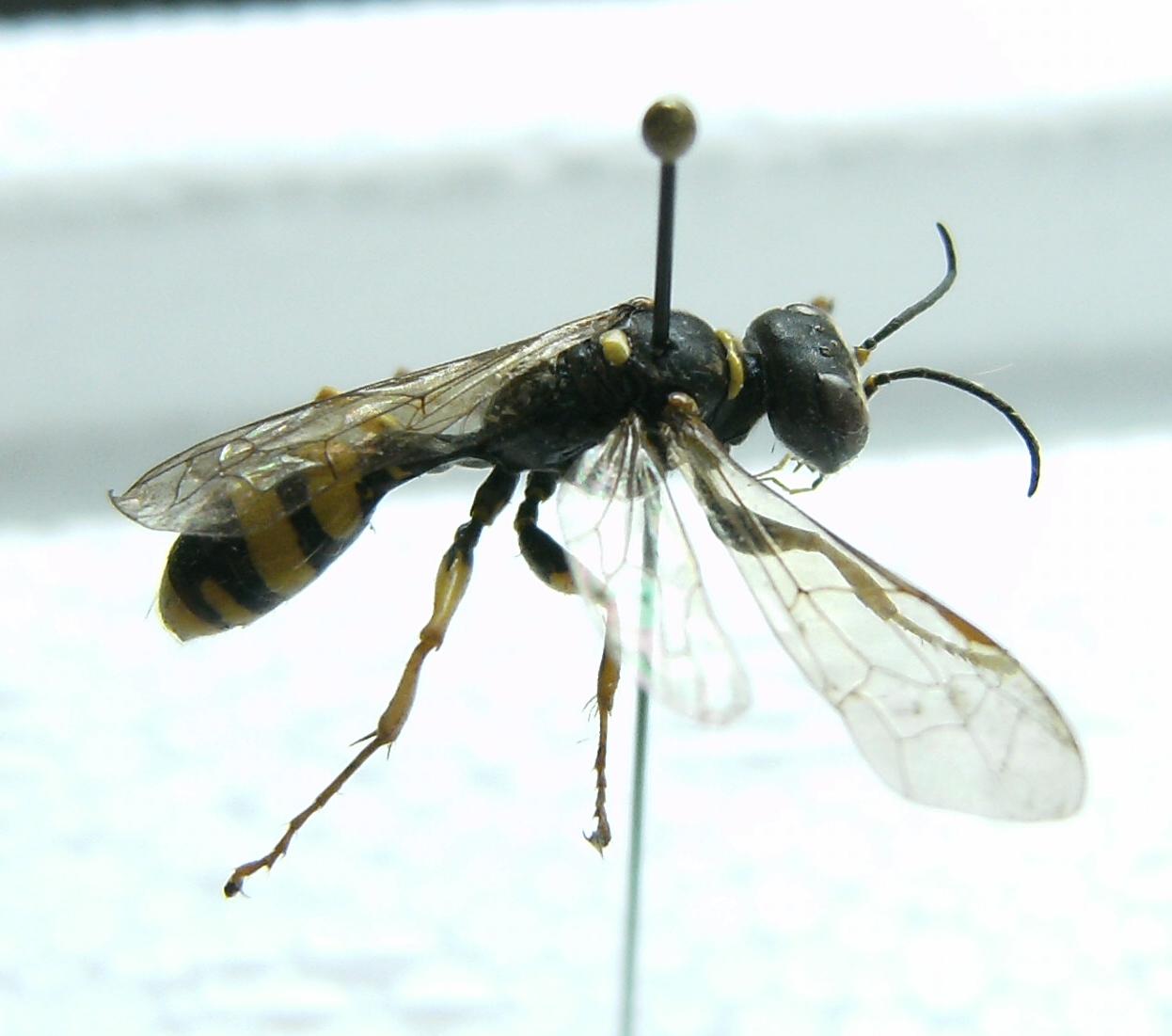 kennt jemand dieses insekt es sieht nach irgendeiner wespe oder so aus insekten wespen. Black Bedroom Furniture Sets. Home Design Ideas