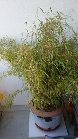 Kennt Sich Jemand Mit Bambus Im Topf Aus Pflanzen Pflanzenpflege