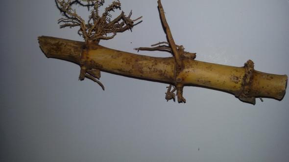Kennt Sich Jemand Mit Der Vermehrung Von Bambus Aus Pflanzen