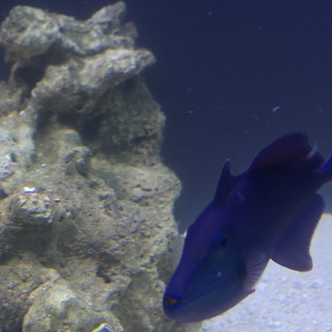 Das ist der Drückerfisch  - (Aquarium, meerwasser, Flossen)
