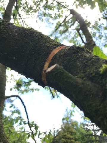 Kirschbaum Äste und Krone ohne Blätter, Risse in Rinde. Was ist es?