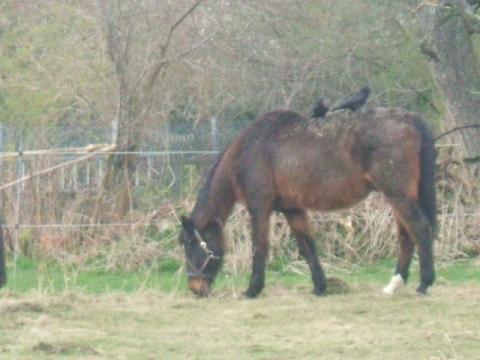 Kirschbaumblätter -giftig für Pferde?