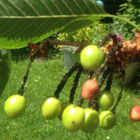 Kirschbaumstiele krank - (Pflanzen, Kirschbaum, Baumkrankheit)
