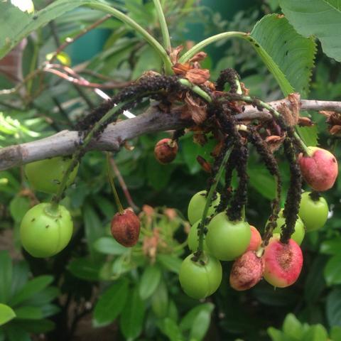 Schwarzes Zeug  - (Pflanzen, Kirschbaum, Baumkrankheit)