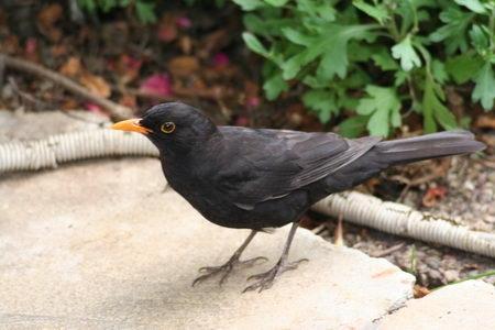 - (Vögel, Kirschen, Kirschkerne)