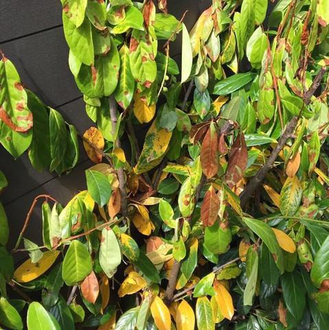 Kirschlorbeer Bekommt Gelbe Blätter kirschlorbeer gelbe blätter und verliert blätter hilfe garten beet